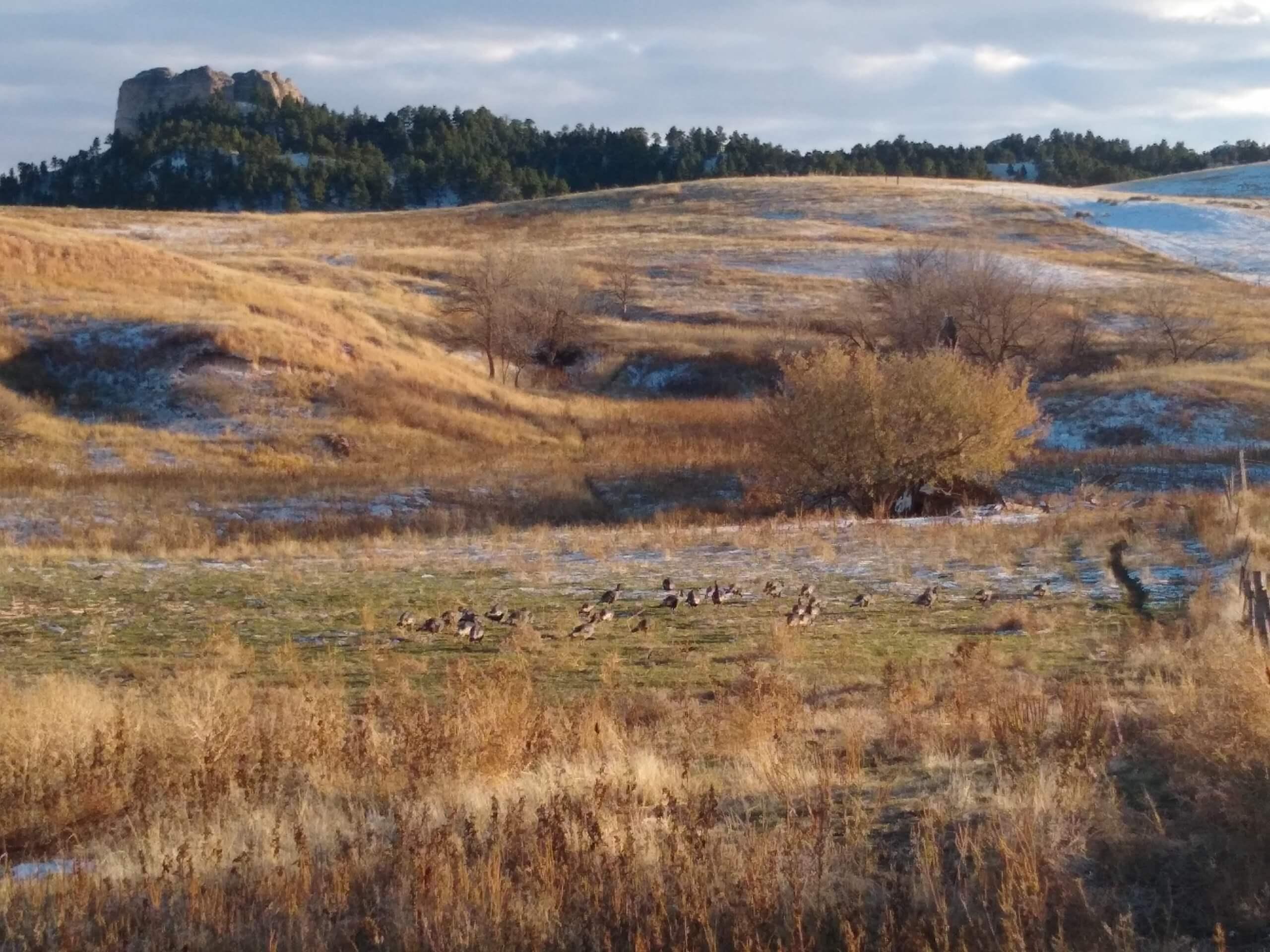 wild turkey foraging on the ranch