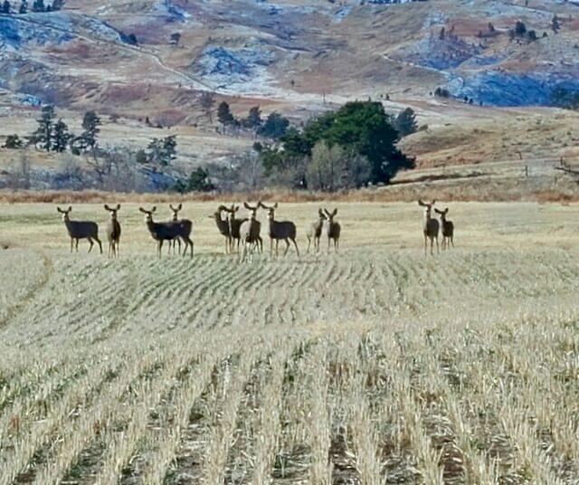 12 mule deer in the winter wheat